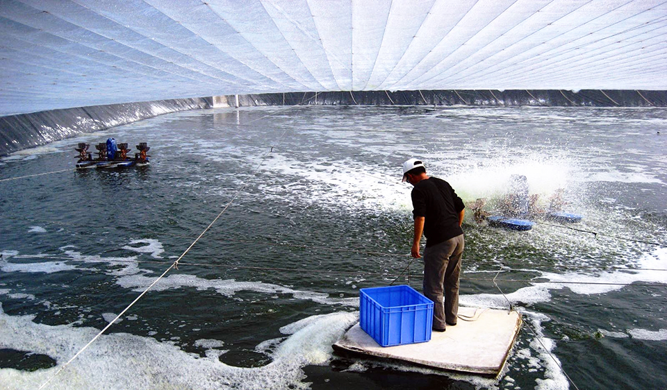 Article image for Biofloc technology expanding at white shrimp farms