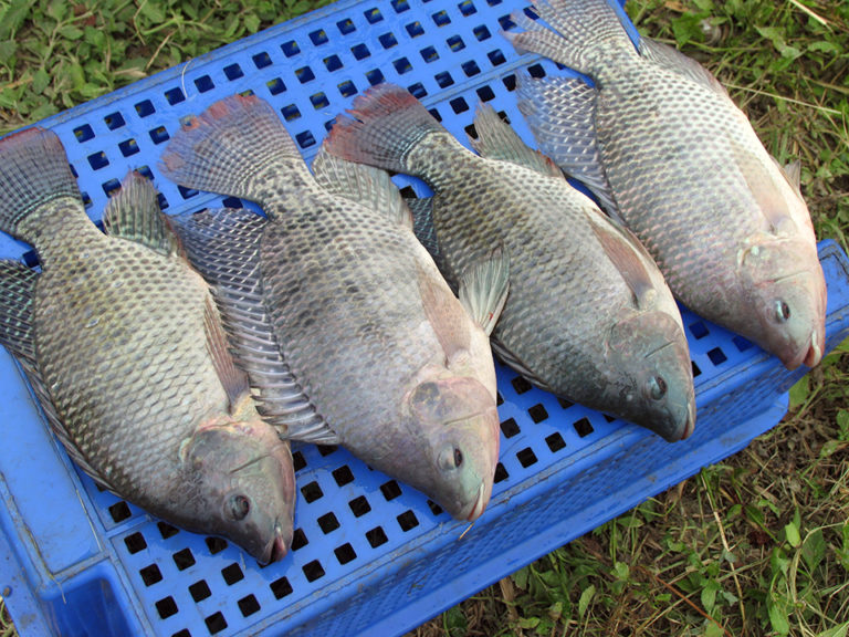 Article image for Finfish genetic improvement