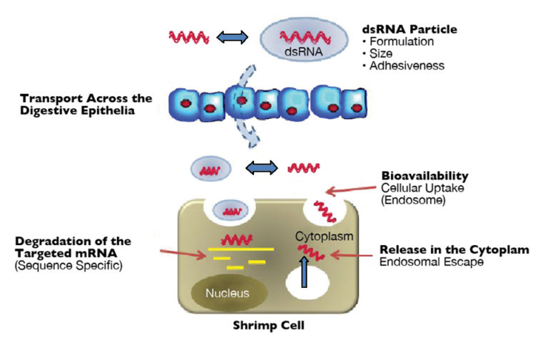 Article image for Studies seek oral delivery of RNAi-based therapeutics for shrimp