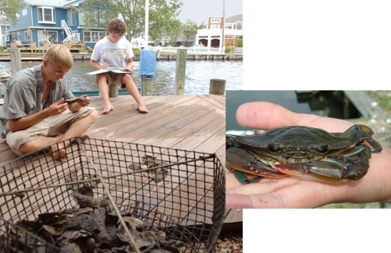 Article image for Grassroots oyster aquaculture provides habitat for juvenile blue crabs