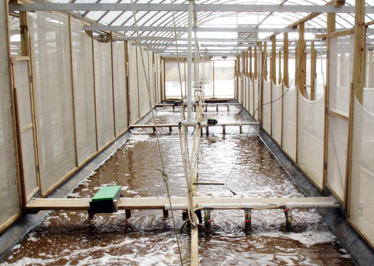 Article image for Intensive raceways without water exchange analyzed for white shrimp culture