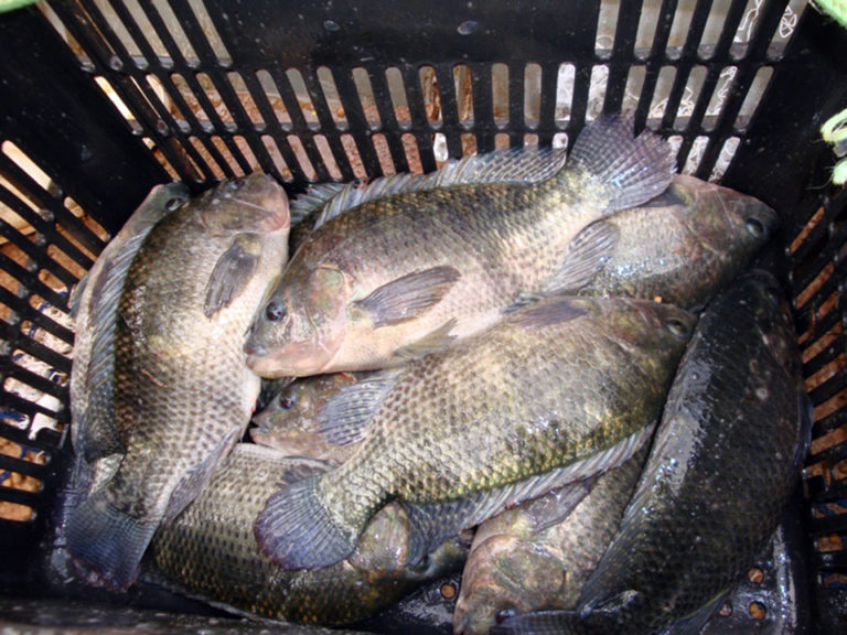 Article image for Brazilian researchers examine amino acids in Nile tilapia diets