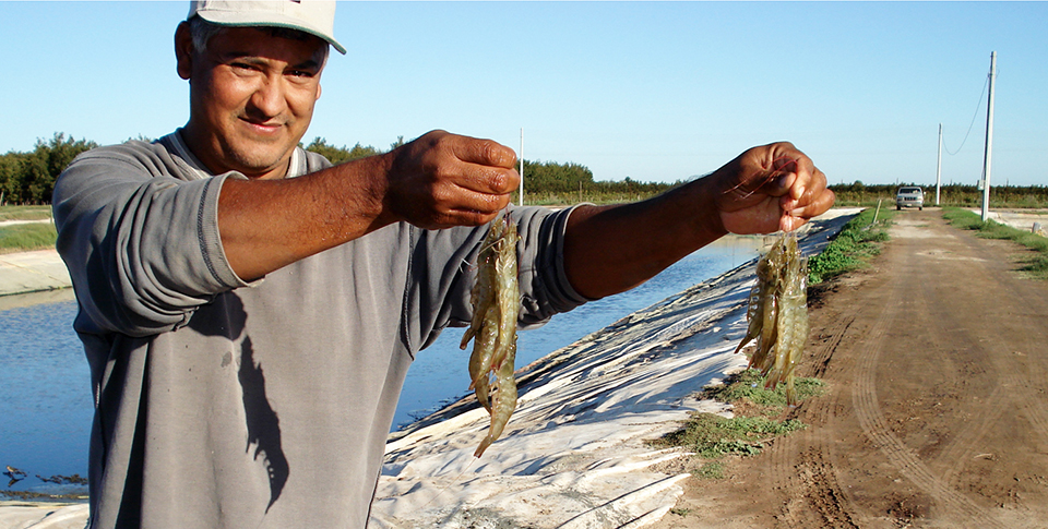 Article image for Shrimp study uses low-salinity groundwater in Sonora, Mexico
