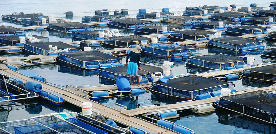 Article image for Tilapia cage farm management in Brazil