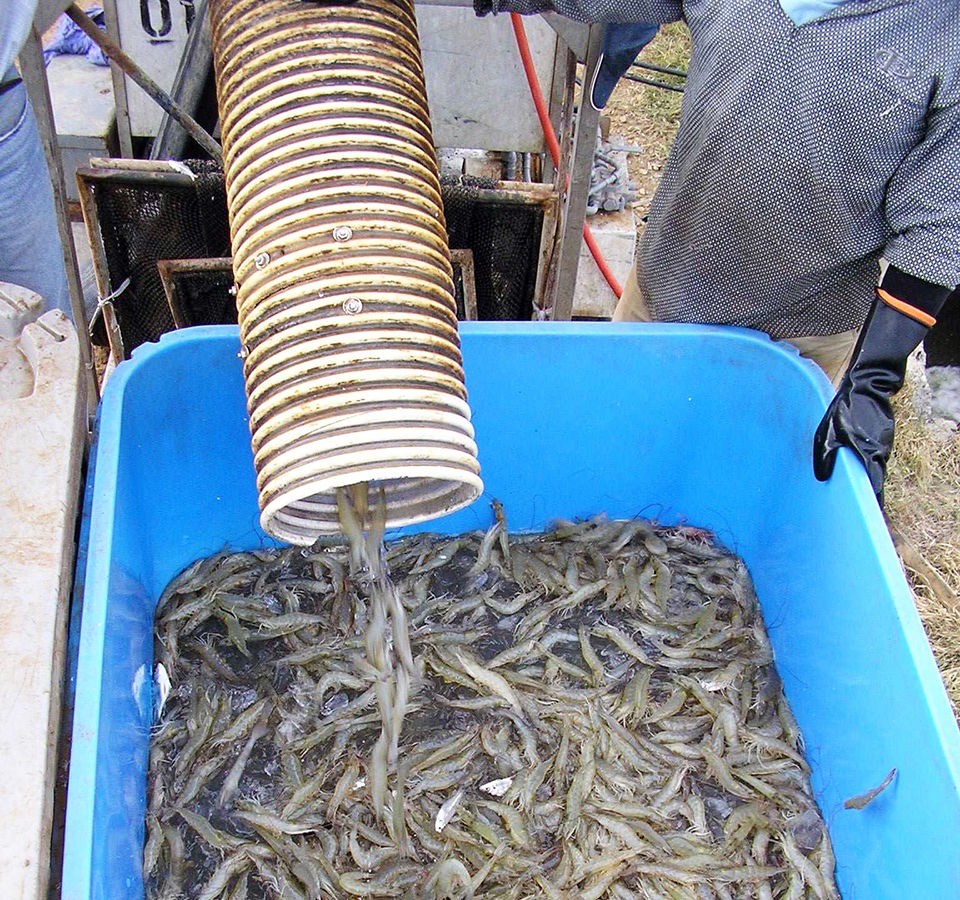 Article image for Panama demo shows botanical extracts improve shrimp productivity