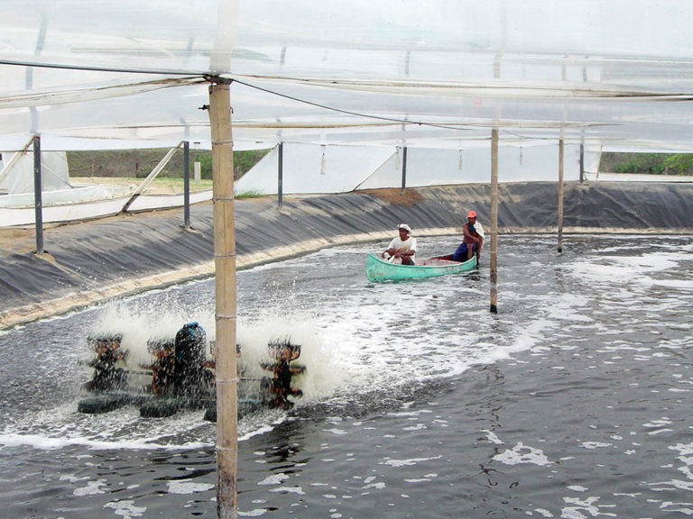 Article image for Intensive Peruvian operation produces shrimp in greenhouses
