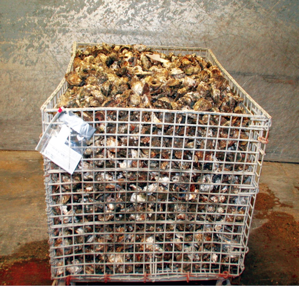 Article image for New approaches can help ensure safety of raw farmed oysters