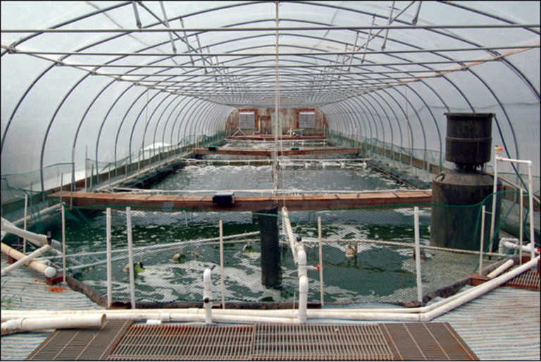 Article image for Waddell Mariculture Center continues research on biofloc-based shrimp culture