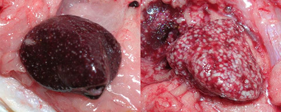 Article image for Bacterial diseases cause granulomas in fish