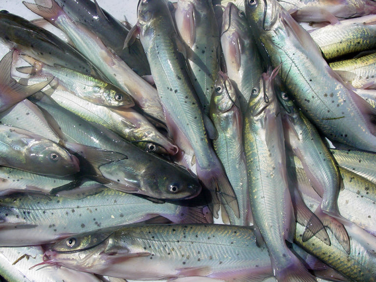 Article image for Essential oils increase weight gain in channel catfish