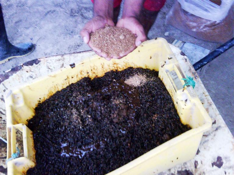 Article image for New techniques, peptide treatments aid intensive shrimp farm in Ecuador