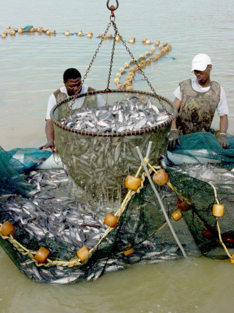 Article image for Common off-flavors in channel catfish following partial pond harvest