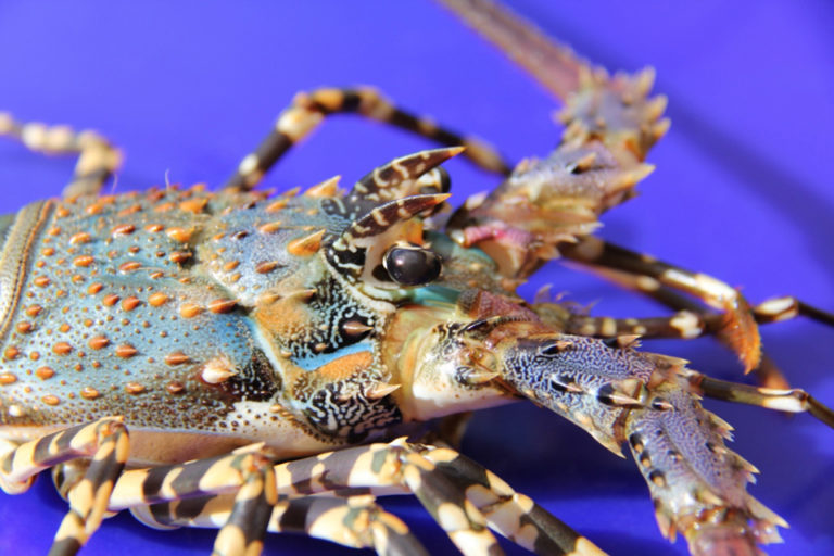 Article image for Hatchery production of spiny lobsters