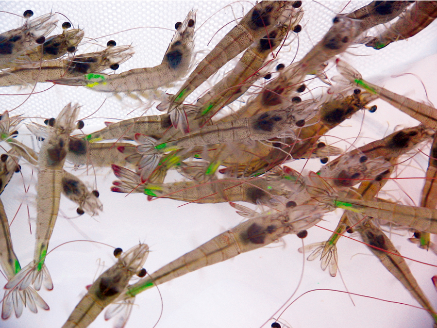 Article image for History of shrimp farming