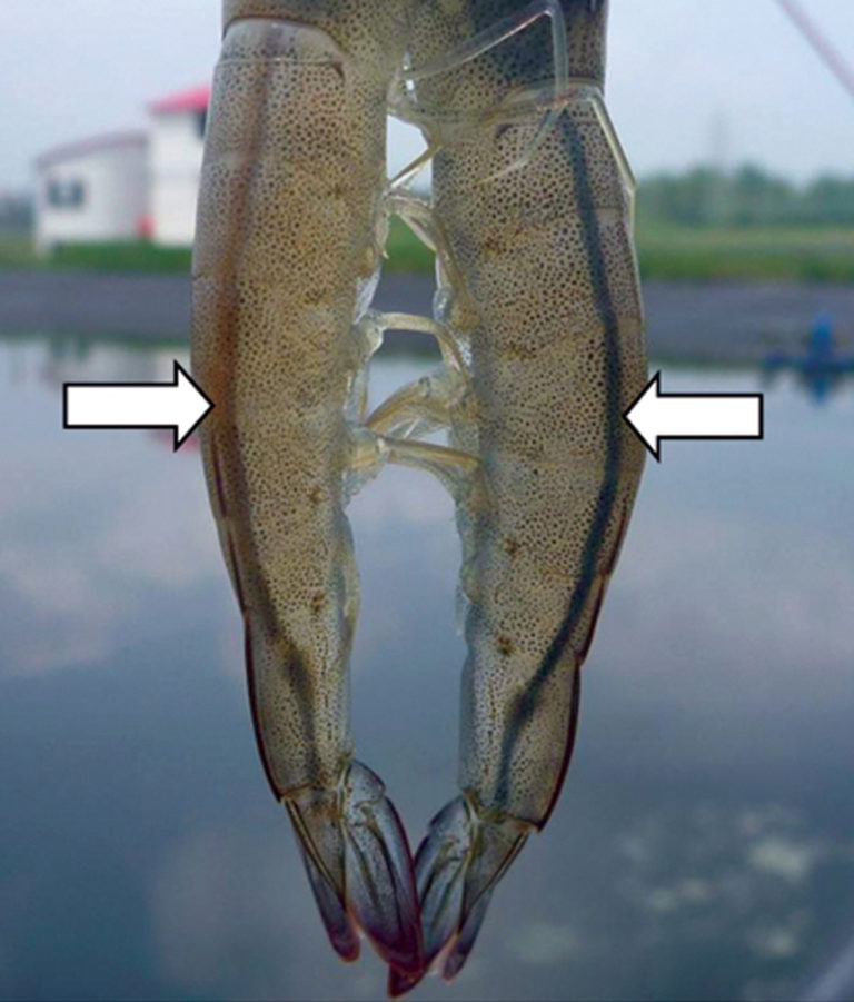 Article image for Intestine color check complements feed management in white shrimp
