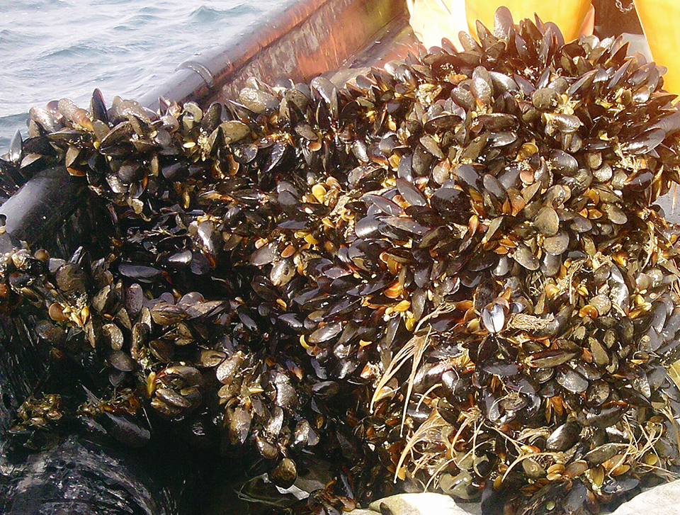 Article image for An overview of mussel culture in Chile