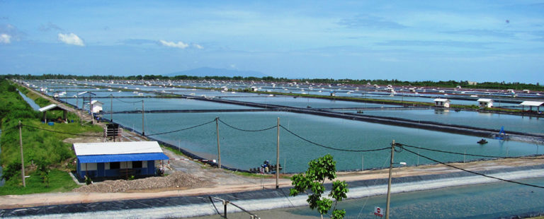 Article image for Strategies for managing large integrated shrimp farms
