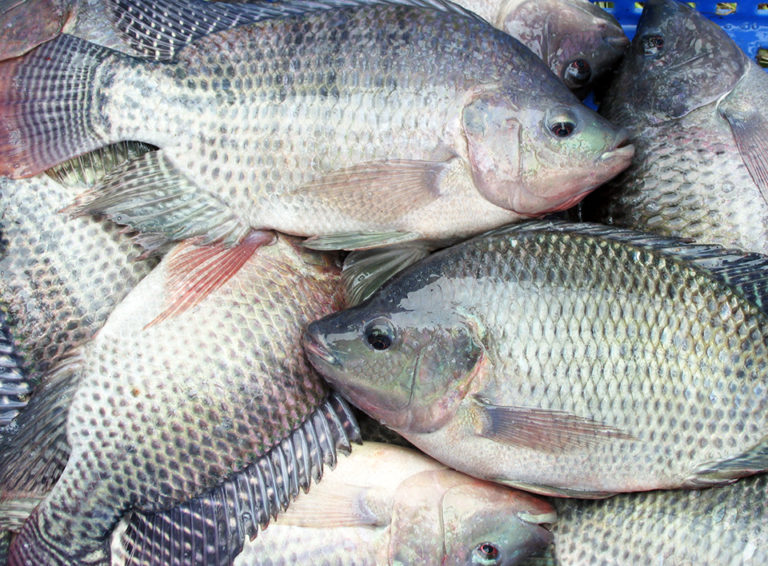 Article image for Improving salinity tolerance in tilapia