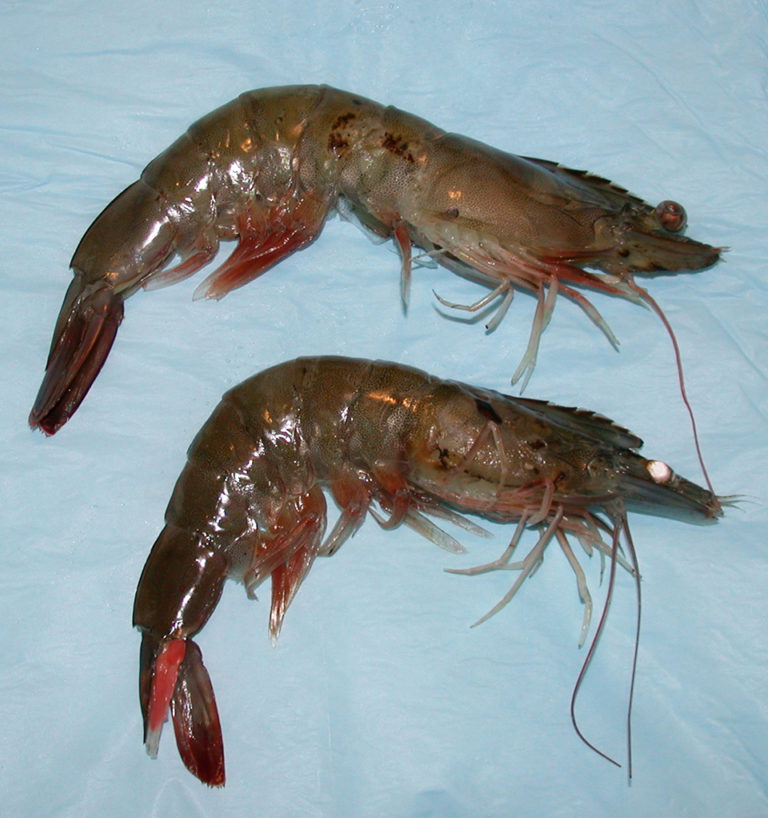 Article image for High nitrate levels toxic to shrimp