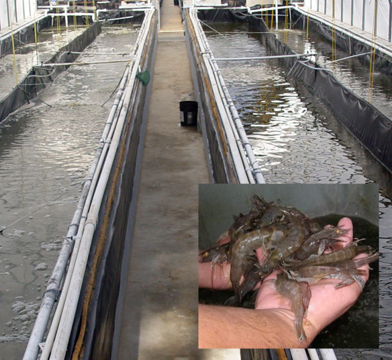 Article image for Study: Lower biofloc concentration may improve shrimp production