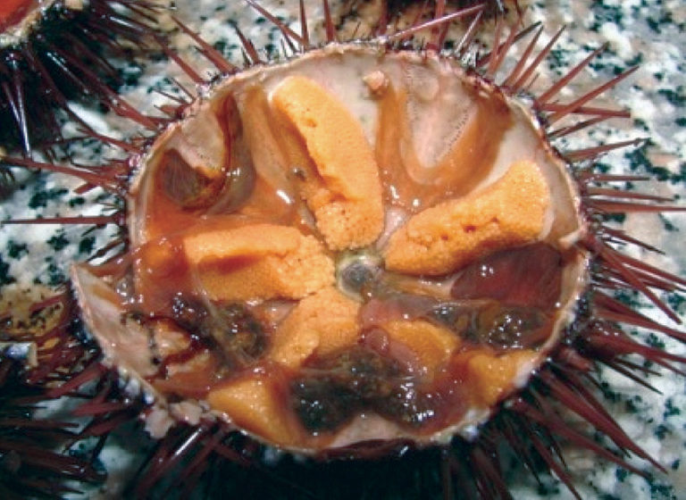 Article image for Aquaculture could enhance Mediterranean Sea urchin fishery