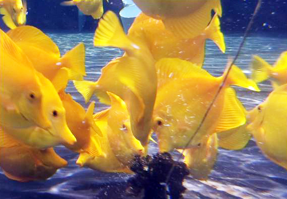 Article image for Oceanic institute achieves breakthroughs in culture technology for yellow tang