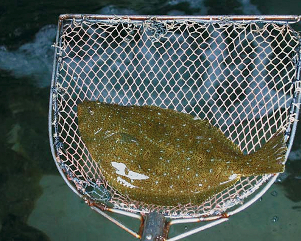 Article image for Dietary organic acids improve gut health, disease resistance in olive flounder