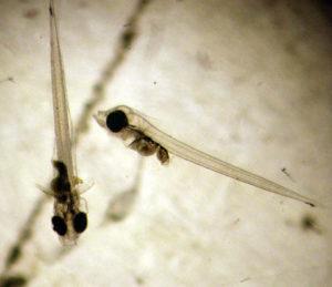 yellowfin larvae