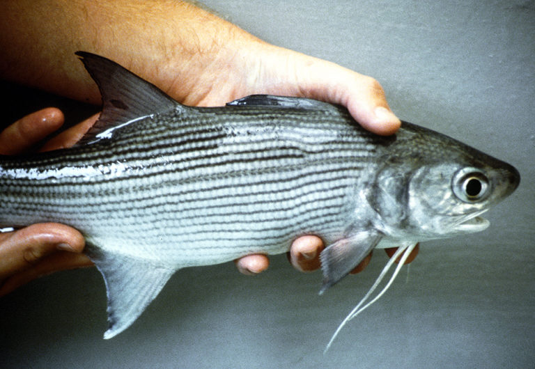Article image for Salmon testes meal potential ingredient for Pacific threadfin diets