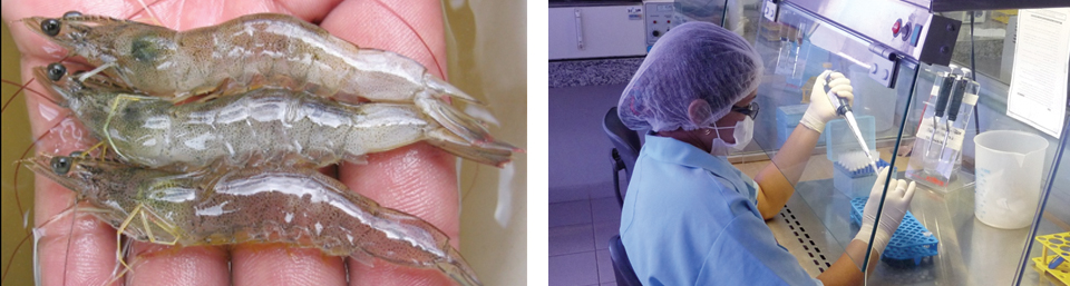 Article image for Brazil shrimp farm performs genetic selection for IMNV resistance, growth