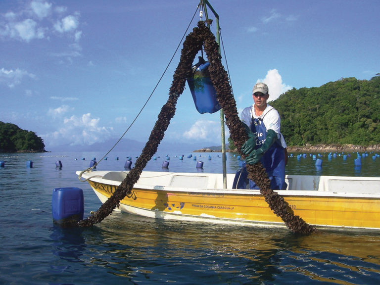 Article image for Updated technologies improve efficiency, reduce costs for mussel seed in Brazil