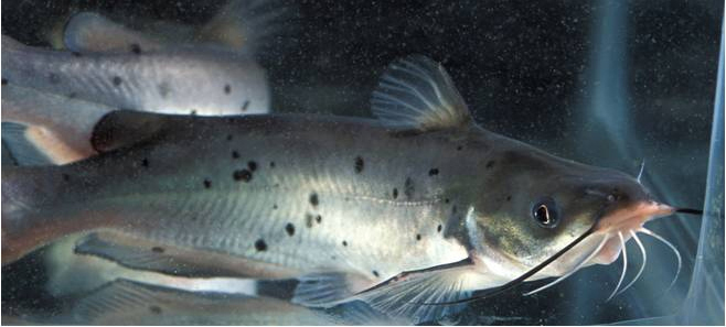 Article image for Essential oils enhance fillet composition of channel catfish