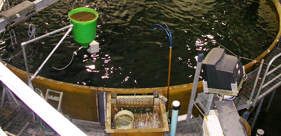 salmonids