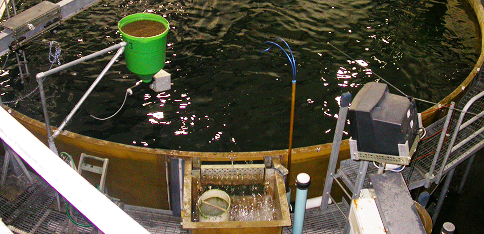 Article image for Off-flavors in salmonids raised in RAS