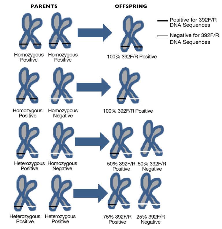 Article image for Genomic IHHN-related DNA sequences in black tiger shrimp