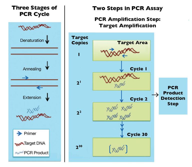 Article image for PCR-based tools aid biosecurity via detection of WSSV