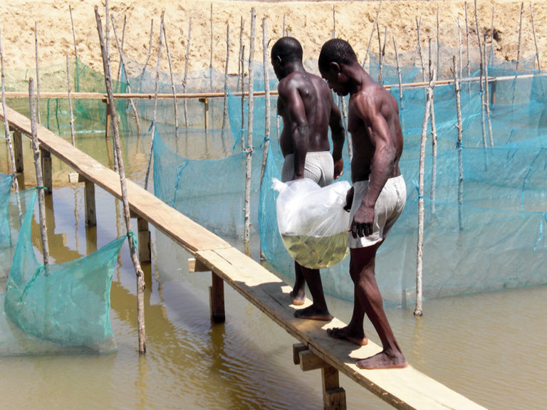 Article image for The rise of tilapia farming in Ghana