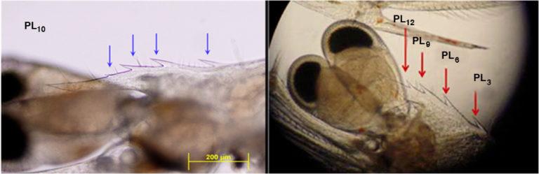 Article image for Postlarvae evaluation key to controlling shrimp diseases