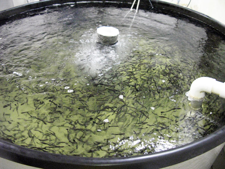 Article image for Saturated fatty acids limit effects of fish oil replacement in cobia diets