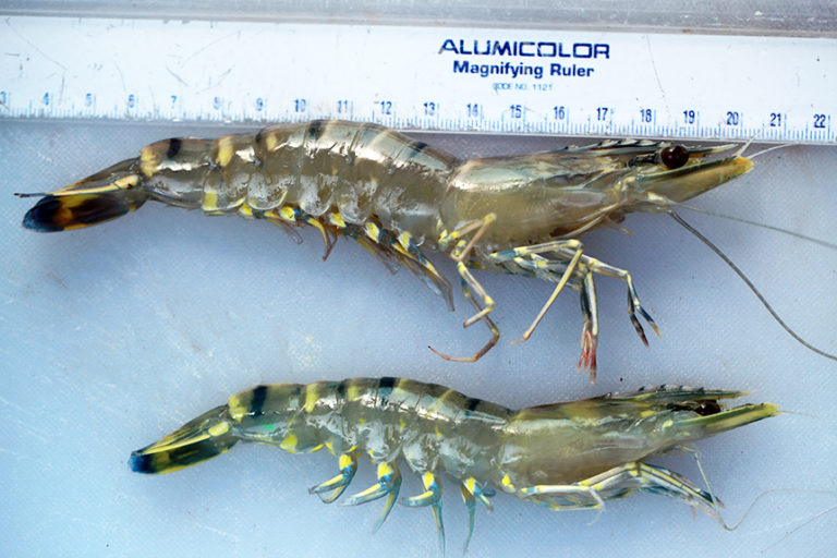 Article image for Inbreeding cuts growth, reproduction in shrimp