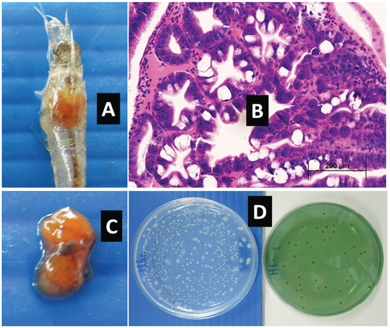 Article image for Hepatopancreas colors predict survival of shrimp to EMS