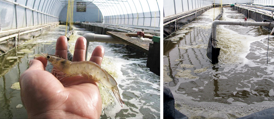 Article image for Biofloc trial results in fast shrimp growth, low FCR, high survival
