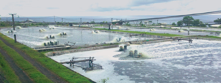 Article image for Intensive farm in Bali produces shrimp in biofloc system