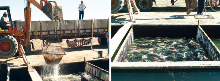 Article image for Water quality in tilapia transport, from farm to retail