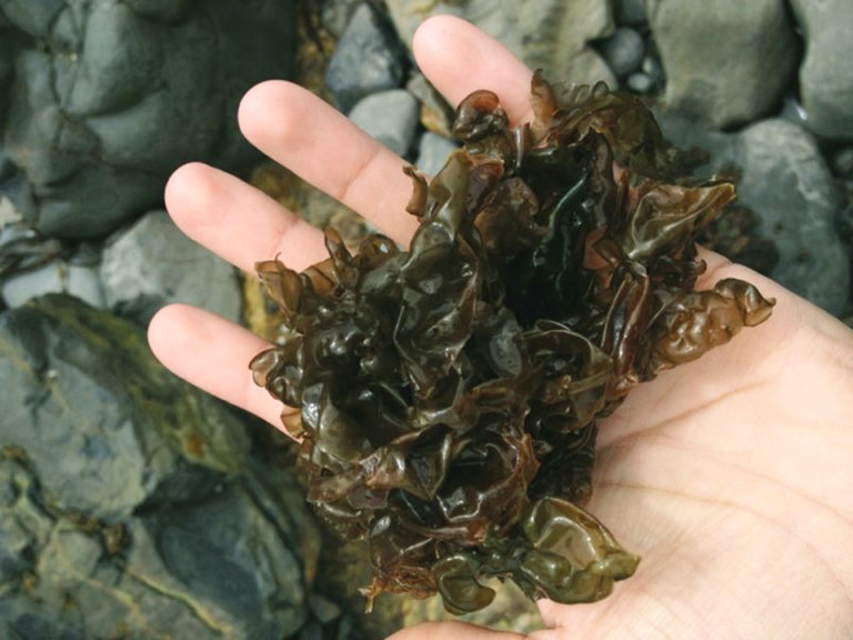 Article image for Red seaweed: Promising, sustainable feed additive combats ISA virus
