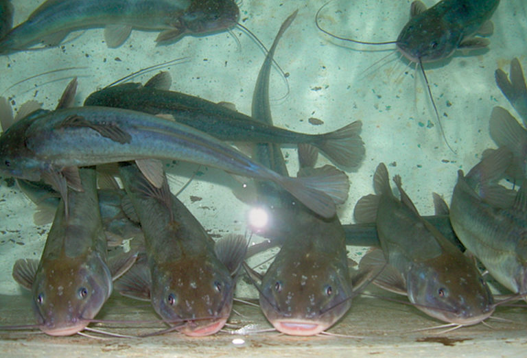 Article image for Clove oil, eugenol effective anesthetics for silver catfish