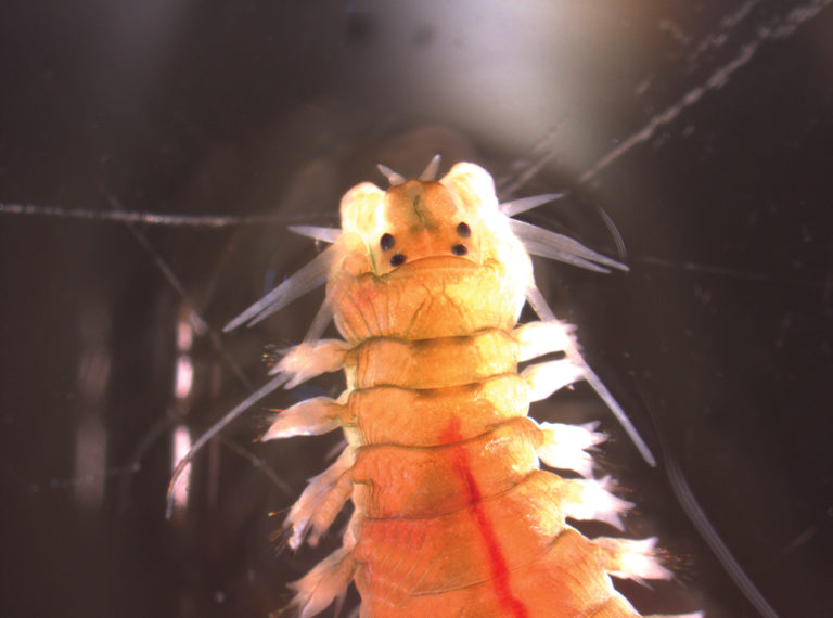 Article image for Polychaete worms reduce waste, provide food in aquaculture
