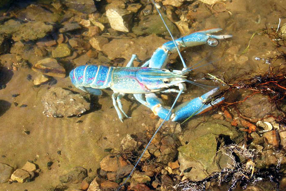 red claw crayfish