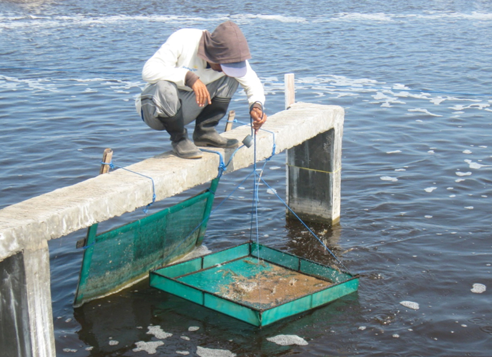 Article image for Feed management improves profits in intensive white shrimp farming