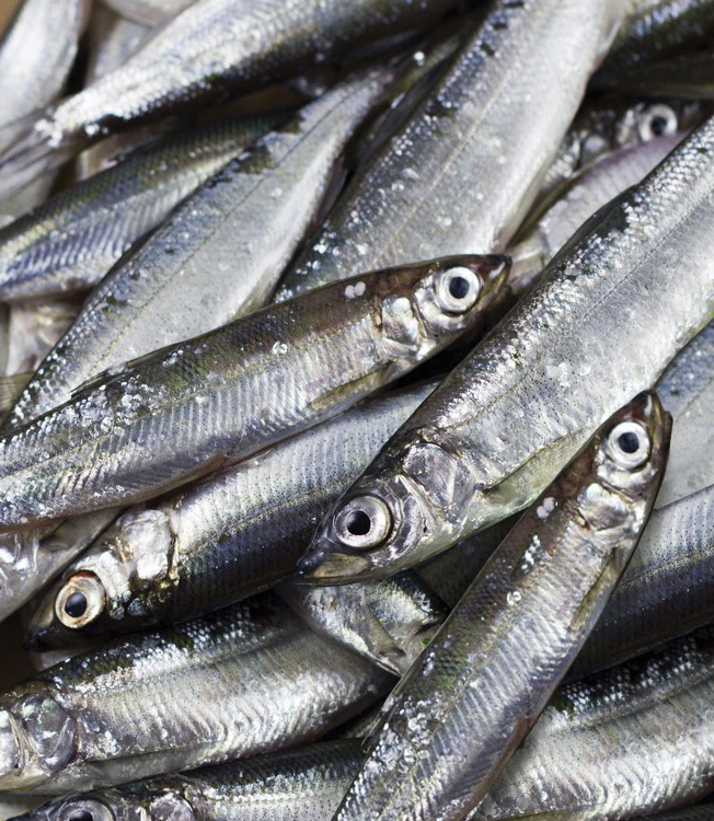 Article image for New IFFO position: Fish as food or feed